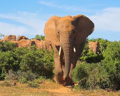African Elephant Habitat Loss