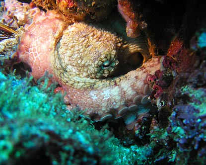 Octopus in Costa Rica