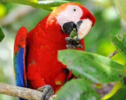 Costa rica macaw