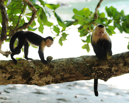 Costa Rica Monkeys Where To See Monkeys In Costa Rica