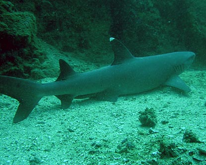 Sharks in Costa Rica