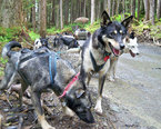 Juneau Dog Sled Tour