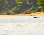 Mekong River Dolphins