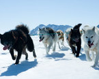 Greenland Dog Sledding