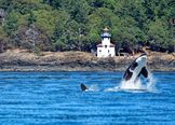 San Juan Islands Whale Watching