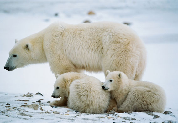 Polar Bears in Alaska – Polar Bears in Canada