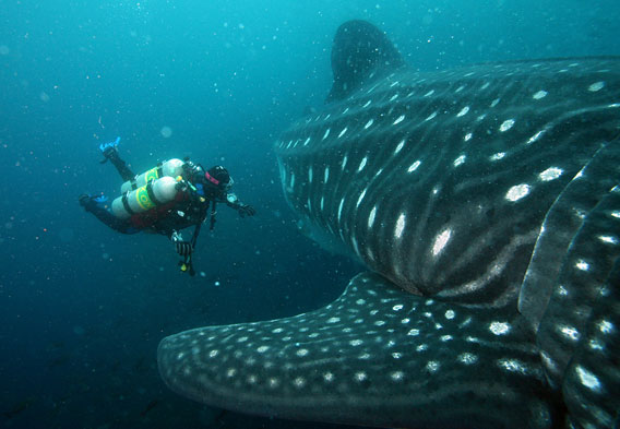 Diving With Whale Sharks Honduras