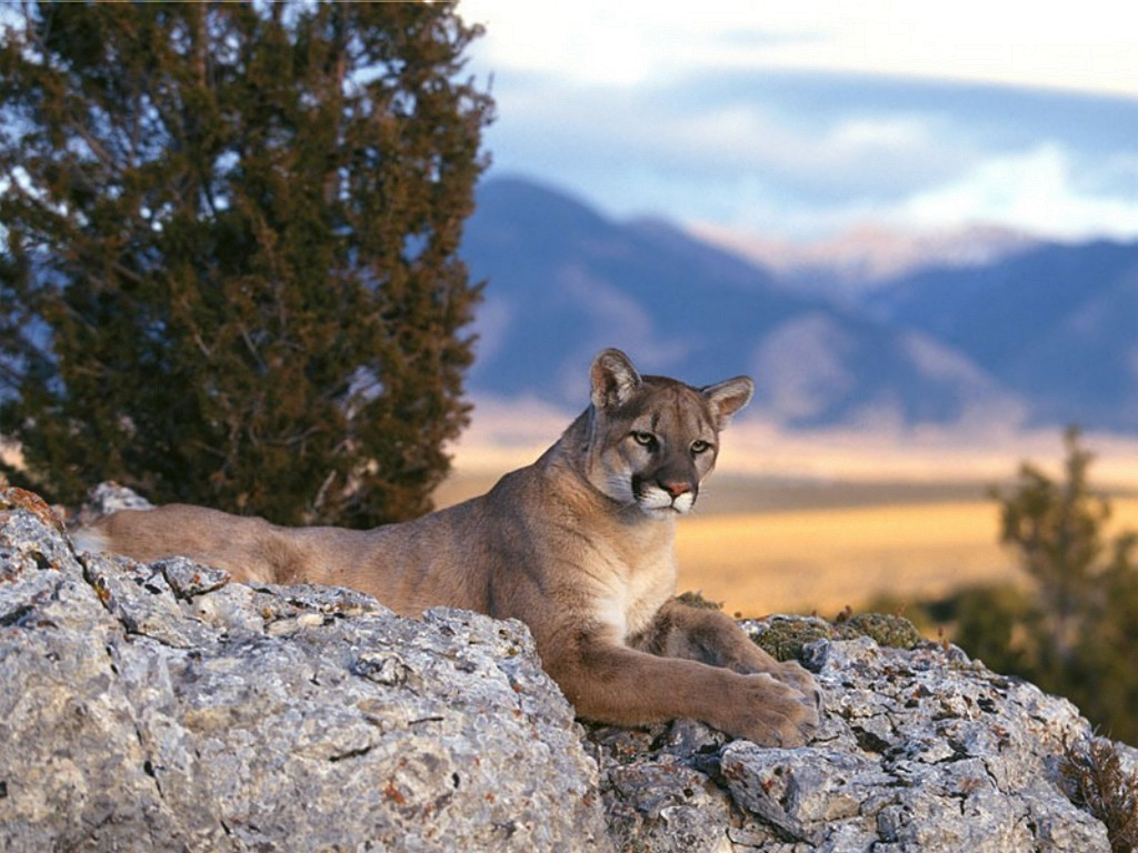 Rocky Mountain Lions