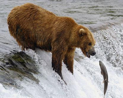 Alaska Bears Kodiak Bear