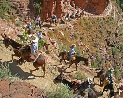 Grand Canyon Mule Rides Grand Canyon Mules