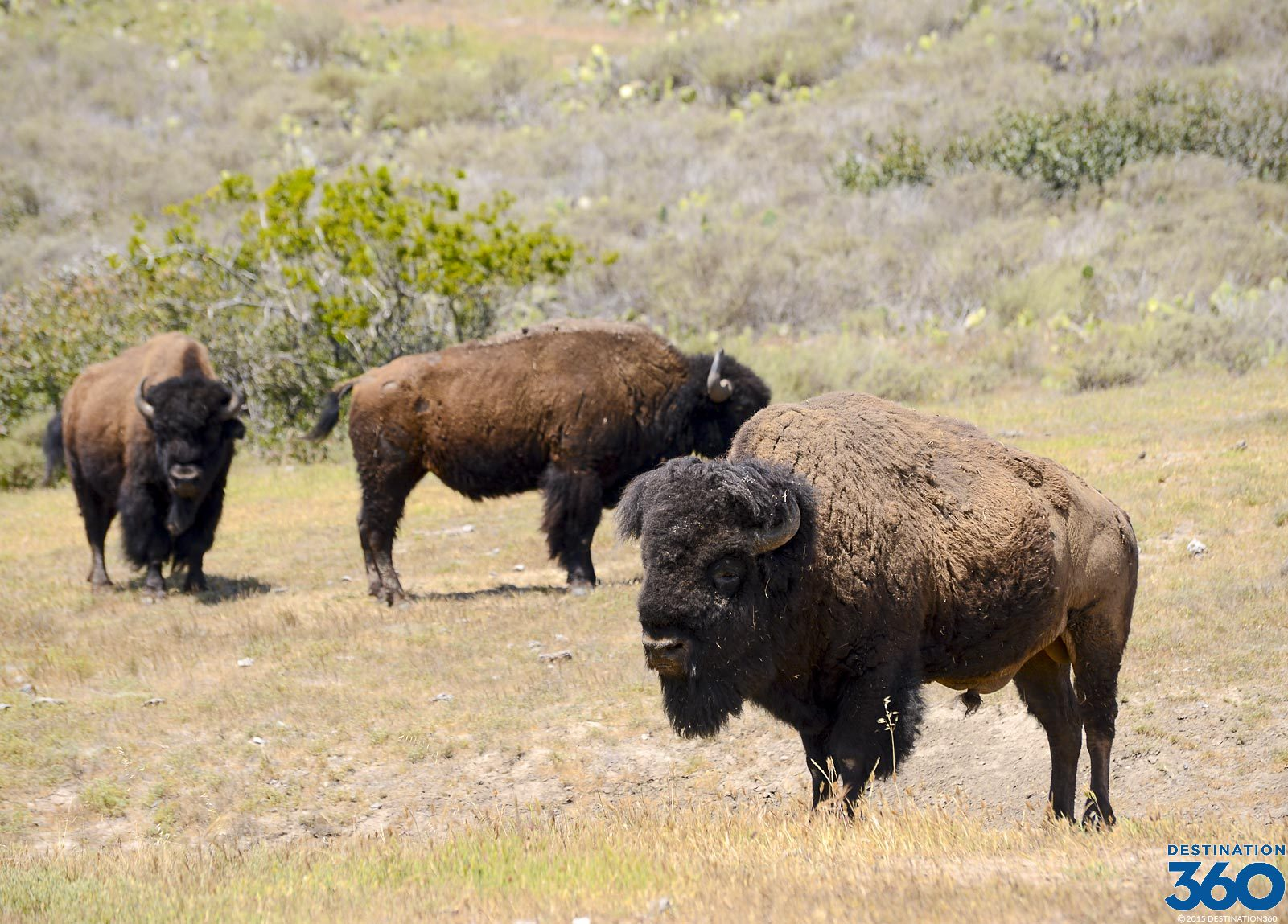 Buffalo on Catalina Island