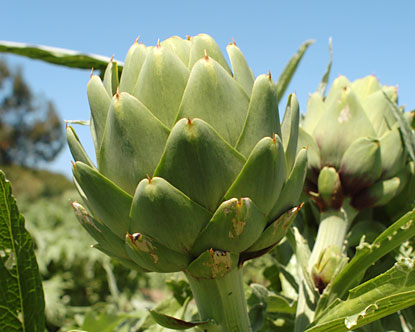 California Artichoke, Artichoke Farms, California