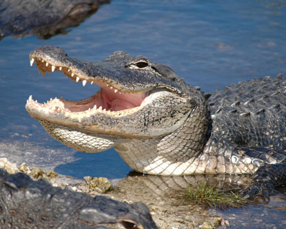 Crocodiles at Everglades National Park