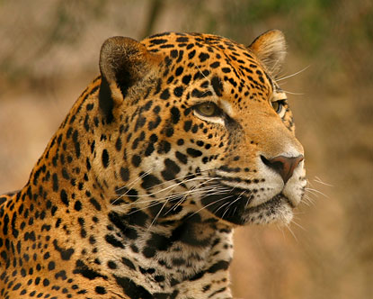 http://www.destination360.com/south-america/brazil/images/st/amazon-animals-jaguar.jpg